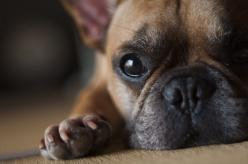 """Will you play?"" French Bulldog: French Bulldogs, Sweet, Bay, Play, Puppy, Baby, Pet Bulldog"
