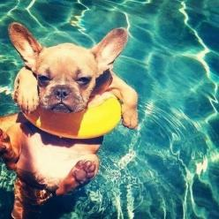 5 French Bulldog puppies you must see The Pet's Planet  Limited Edition French Bulldog Tee http://teespring.com/lovefrenchbulldogs: Animals, French Bulldogs, So Cute, Pool, Pets, Frenchbulldog, Summer, Puppy, Frenchie