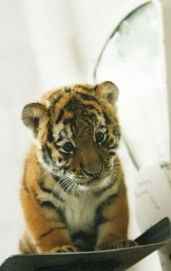 A LITTLE TIGER https://www.facebook.com/furbabiesarethebestbabies: Babies, Big Cats, Pet, Tiger Cubs, Box, Baby Animals, Baby Tigers, Bigcat