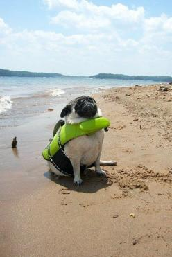 A pug in a lifejacket triumphantly facing her destiny: | 30 Animal Pictures That Will Make You A Better Person: Funny Animals, Beach Pug, Animal Pictures, Dogs, Pug Life, Pugs, The Beach