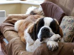 A St. Bernard chillin out!: St Bernards, Animals, Pets, Bernard Dogs, Saint Bernards, Puppy, Photo, Biggest Dog