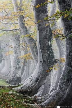 """Abruzzo, Italy These trees look as if they should have been cast in """"Lord of the Rings"""": Misty Wood, Trees, Vincenzo Mazza, Photo, Italy, Abruzzo"""