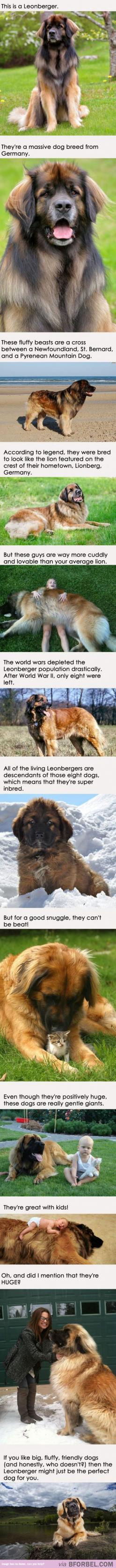Adopt A Leonberger Today!: Leonberger Today, Dogs Leonberger, Leonberger Dogs, Leonburger Dog, Dog Breeds, Future Dogs, Animal