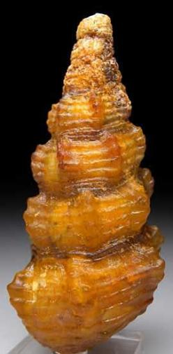 Agate after Shell Dakhla, Morocco   Fossil shell from the Eocene replaced by translucent golden agate. This is a monster for the find which usually produces shells in the 2cm size range.: Remplacing Fossils, Geology Palentology Fossils, Rock Shells Gems,
