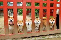 Ah yes  Very gate.  Much inside.  Wow.  Honky honky: Animals Funny, Shiba Dogs, Sibling, Nature Animals Pets, Shiba Inus, Animals Dog 柴犬, Animal Dogs, Shibainu