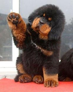 All This Tibetan Mastiff Puppy Wants To Do Is Shake Hands With You: Animals, Dogs, Pets, Tibetan Mastiff Puppies, Puppys, Tibetanmastiff, Friend