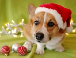 An adorable Pembroke Welsh Corgi puppy --- would love to have one of those under my tree!: Holiday, Corgis, Animals, Dogs, Corgi Christmas, Corgi Puppies, Puppy, Christmas Corgi, Photo
