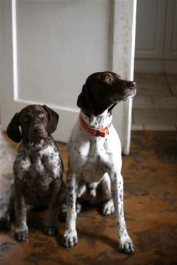 : Animals German Pointers, Shorthaired Pointers, Gsps, German Shorthaired Pointer, Shorthair Pointers, Doggies, Bird Dogs, Baby, Animals Dogs Gsp