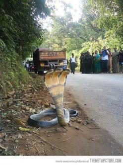 As if one head wasn't bad enough: Animals, Stuff, Nature, Headed Cobra, Wtf, Snakes, Photo