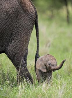 as if they are ever this small <3 <3 <3 heart melting: Babyelephants, Elephantss, Tiny Animal, Baby Elephants, Elephant, Licinia Machado, Baby Animal, Elephant Baby