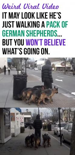 At first glance, it may look like this man is simply walking a pack of German Shepherds… but keep watching, because there is something very interesting going on here.: German Shepards, Dog Training, Frizzy Board, German Shepherd Puppies, German Shepherds,
