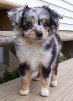 Aussiepoo. My daughter wants a white dog. My son wants a black dog. And I want a brown dog that doesn't shed. This one may be a winner!!!: Australian Shepard, Animals, Puppy, Australian Sheep Dog, Mini Aussie, Poodle Mix, Mini Australian Shepherd