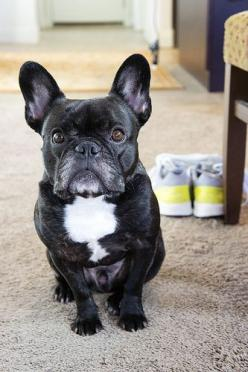awww how can you not love that face!!: French Bulldogs, I Frenchbulldogs, Beautimous Bullies, Doggies, Bulldog Pug, Bulldogs Love, Bulldogs Pets, Frenchies My, Animal