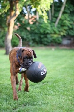 B ball, it stands for Boxer Ball silly human: Boxers Puppies, Boxer Puppie, Boxers Dogs, Dogs Boxers, Dog Boxer, Beautiful Boxers, Animal