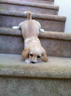 Baby Ella's attempt going down stairs. - Imgur: Puppies, Stairs, Dogs, Adorable Animals, So Cute, Pets, Funny, Puppys, Baby