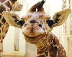 baby giraffe mugging for the camera     I can't even believe how many notes this has holy jesus thank you everyone :'): Face, Babies, Animals, Baby Giraffes, Adorable, Smile, Photo, Babygiraffes