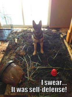 Bad Plant! BAD! ;)  Photo Tracy Rich!  The German Shepherd Dog Community: German Shepherd Dogs, German Shepards, Funny Dogs, Bad Dog, German Sheperd, German Shepherds, Gsd