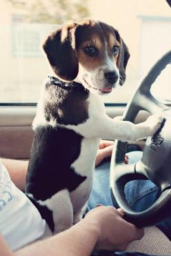 beagle... one day i will have one.  sammie if its a boy, daisy if its a girl.  someone can get me one. i won't mind.: Beagle Driving, Doggie, Dogs, Beagle Puppies, Pet, Beagles, Puppys, Baby, Animal
