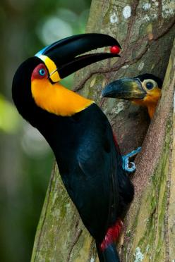 Beautiful Channel Billed Toucan (Ramphastos v. ariel) With Baby.: Baby Chick, Birds Birds, Animals, Poultry, Beautiful Birds, Toucan Feeding