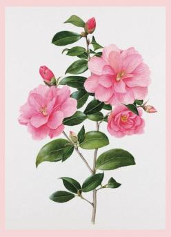 Beautiful rose by Evelyn Binns. The royal family are among the many that collect her beautiful renderings.: Vintage Botanical Prints, Botanical Illustrations, Flower Prints, Botanical Drawing Prints, Art Images, Botanical Art, Beautiful Rose, Pintura Bota