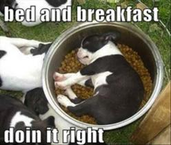 bed and breakfast funny pictures: Puppies, Animals, Dogs, Bed, Pet, Food, Funny, Puppy, Boston Terriers