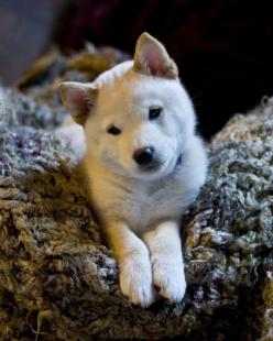 Beige, this is a shiba inu puppy. Doesn't it look like Suze? Maybe I could start a section on Louder and Funnier called 'things that look like suze'.: Puppies, Animals, Dogs, Doggies, Shiba Inus, Puppy, Baby, Shibainu