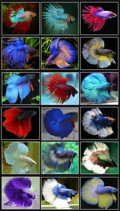 Betta Fish, or Siamese Fighting fish,  are found mainly in the southern parts of South-East Asia, and are especially abundant in Vietnam, Thailand and Cambodia, where they thrive in reedy ponds, slow moving creeks and rivers... Considered by many as the m