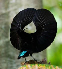 Birds of Paradise ...........click here to find out more http://googydog.com: Animals, Nature, Victoria S Rifle, Bird Of Paradise, Beautiful Birds, Rifle Bird