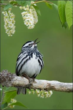 Black-and-White Warbler (Mniotilta varia) singing: North American, Animals, Poultry, American Black, Beautiful Birds