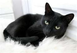 Black Cats:: Kitty Cat, Animals, Black Kitty, Pet, Black Cats, Black Beauty, Google Search, Beautiful Black, Blackcats