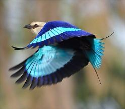 Blue-Bellied Roller Bird - Beautiful Colors: Photos, Rollers, Blue Bellied Roller, Beautiful Color, Beautiful Birds, Animal