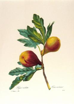 botanic illustration: Fruit, Botanical Prints, Botanical Illustrations, Art Prints, Botanical Art, Antique, Figs