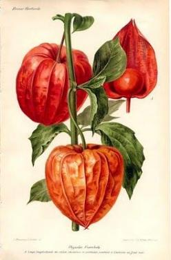 Botanical - Chinese Lantern Plant: Paper Lanterns, Illustrations Plant Animal, Chinese Lanterns, Botany, Botanical Illustrations, Flower Illustrations, Beautiful Flowers, Chinese Lantern Plant, Botanical Art