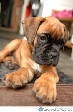 Boxer puppy For Puppy Fridays from Underdog Rescue of Arizona: Animals, Boxer Dogs, Boxer Puppies, Pet, Puppys, Boxers, Baby, Boxerdog