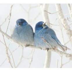 Brds of a feather flock together in shabby chic Blue!: Bluebirds, Animals, Winter, Nature, Beautiful Birds, Blue Birds, Photo