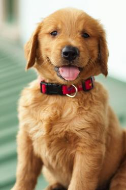 Bring your four-legged friend home to your new apartment at The Granary! #Philly #Philadelphia: Cute Puppies, Dogs, Sweet, Golden Retrievers, Puppy Love, Golden Puppy, Friend, Animal
