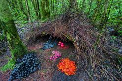 BUILT TO IMPRESS THE LADIES: The bower of the vogelkop gardener bowerbird is a complex architectural masterpiece, built to attract mates. The tower, called the maypole, is set around a thin trunk. Anything with striking colors is used to decorate it: blos