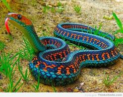 California Red Sided Garter Snake,  He is one beautifully colored snake.  WOW!: Animals, Nature, Color, California Red Sided, Red Sided Garter, Snakes