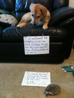 cant stop giggling: Animals, Dog Shaming, Pet, Funny Stuff, Funnies, Funny Animal, Hedgehogs