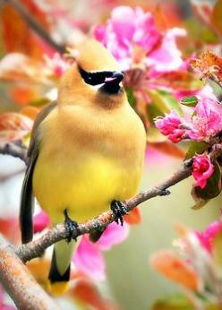 Cedar Waxwing - ©Erik Hovmiller www.flickr.com/photos/40396973@N00/5840767507/: Beautiful Birds, Cedar Waxwing, Photo, Apple Blossoms, Yellow Birds, Animal, Crab Apples