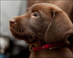 Chocolate Labrador puppy - I want one, please!: Dogs, Chocolate Lab Puppies, Chocolate Labs, Pet, Baby, Chocolate Labrador, Friend, Animal