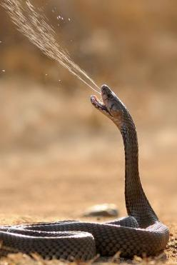 Cobra strike!: Amazing, Reptiles, Animals, Venom, Nature, Creature, Snakes, Photo, Spitting Cobra