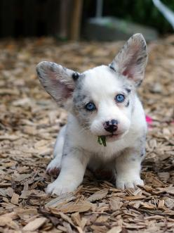 CORGI PUPPY. This is not real. No way. So much cute. @shelby c Jumper: Corgis, Animals, Welsh Corgi Puppies, Dogs, Pet, Puppys, Eye