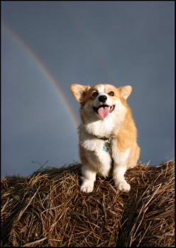 corgi with rainbow: Corgis, Welsh Corgi, Animals, Dogs, Rainbow Corgi, Happy, Rainbows, Pets, Corgi S