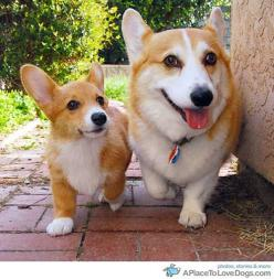 Corgis my all time favorite dog!! When the kids leave the nest, these will be my new babies!: Animals, Dogs, Welsh Corgis, Pets, Corgi S, Puppy, Corgis Rule, Furry Friends