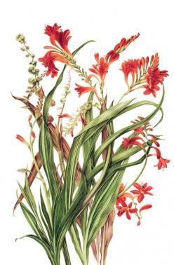 Crocosmia, have these in my garden and they are one of my favorites!: Art Botanicals, Botanic Illustration, Botanical Flowers, Botanical Prints, Botanical Illustrations, Creative Botanicals, Botanical Pictures, Botanical Art, Botanical Nature