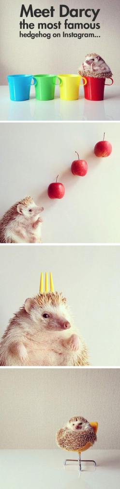 cute-hedgehog-Instagram-Darcy-hand: Famous Hedgehog, Aww Hedgehogs, I Hedgehogs, Hedgehog Cuteness, Hedgehogs ️, Hedgies Hedgehogs, Internet, Hedgehogs D, Pet Hedgehog