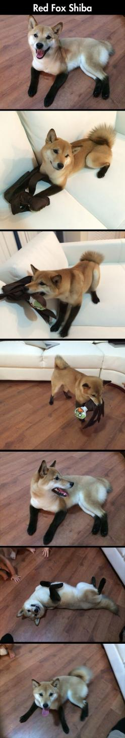Cute Little Domestic Fox  // funny pictures - funny photos - funny images - funny pics - funny quotes - #lol #humor #funnypictures: Fox Shiba, Funny Pics, Funny Pictures, Humor Funnypictures, Domestic Fox, Funny Quotes, Funny Photos, Red Fox, Animal