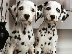 Dalmatian: Twin, Animals, Dogs, Dalmatian Puppies, Pets, Puppys, Dalmatians, Friend
