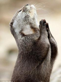 Dear God, Please help those humans have more compassion for the rest of Your creations.: Dear God, Animals, Stuff, Otters, Funny, Adorable, Things, Praying Otter
